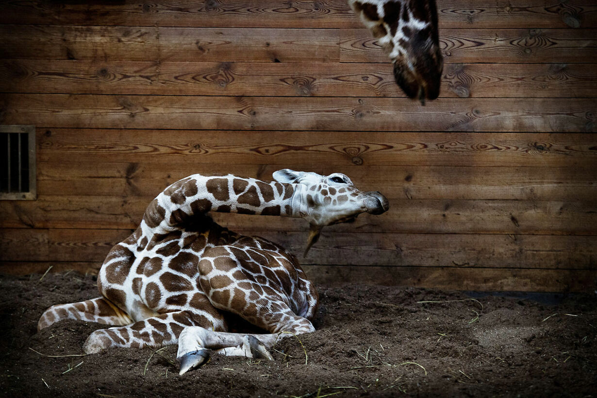 Girafunge i Zoo