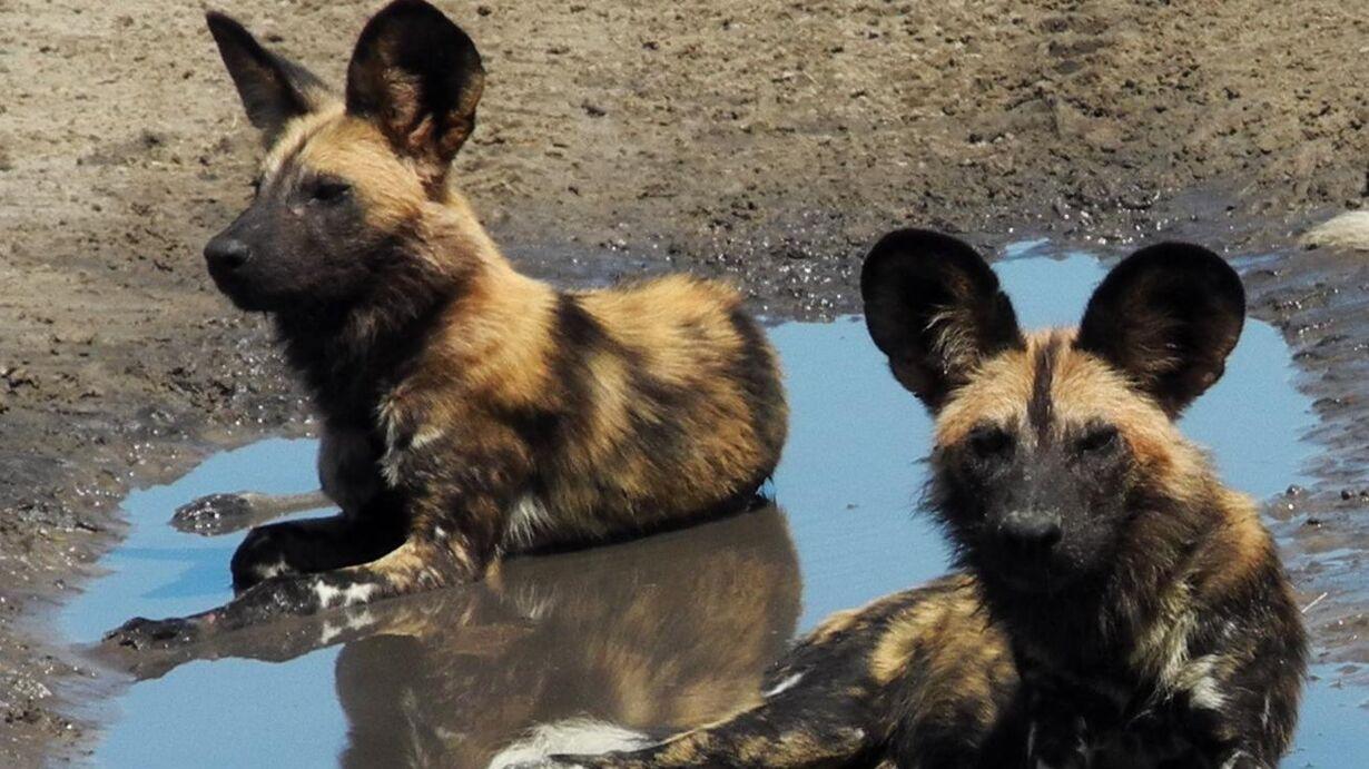 17rejBotswana-Vild-Hund-2.jpg