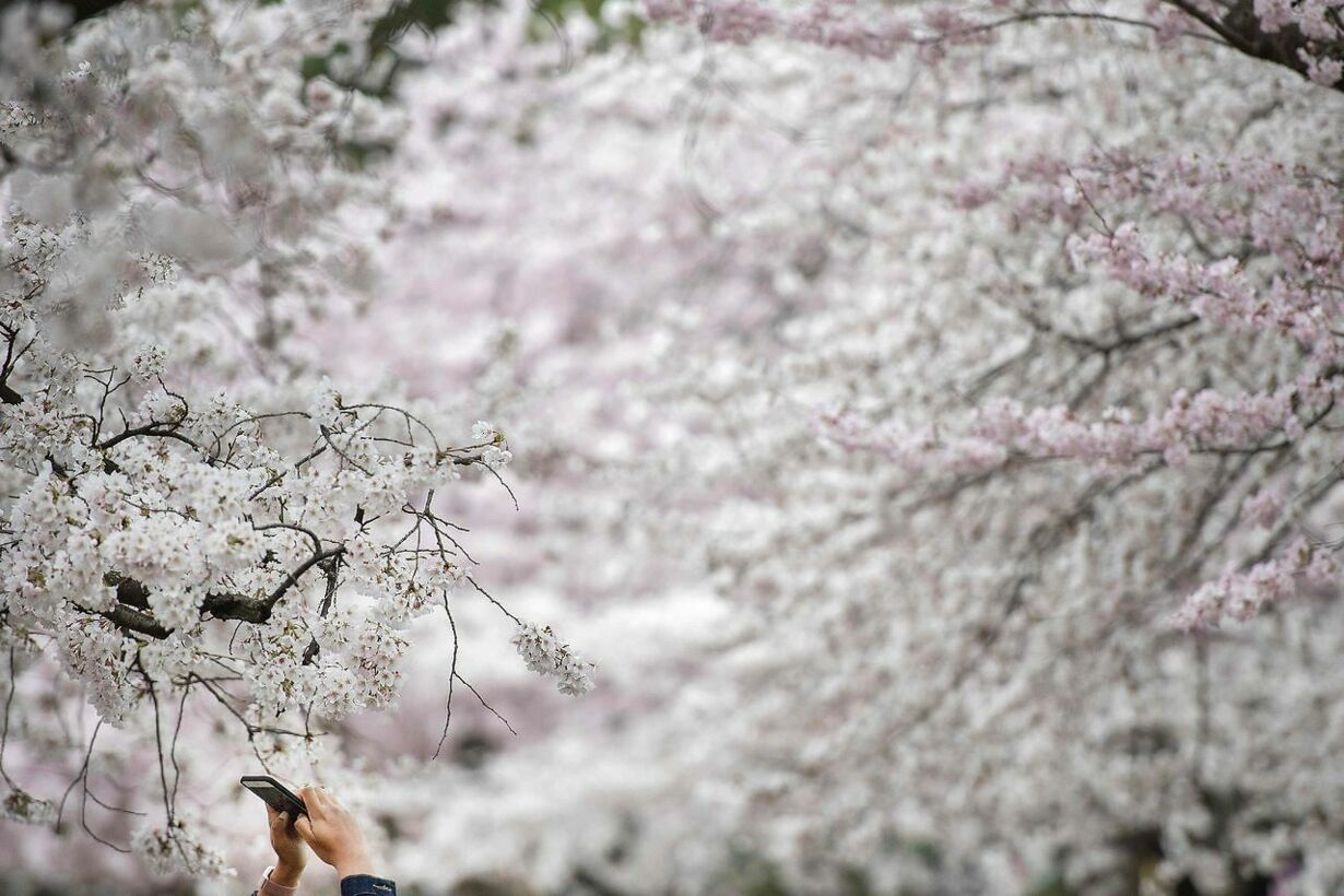 US-LIFESTYLE-CHERRY BLOSSOMS