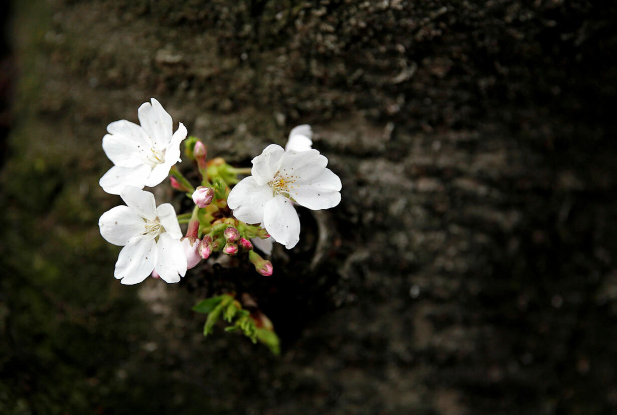 SPRING-CHERRYBLOSSOMS/JAPAN