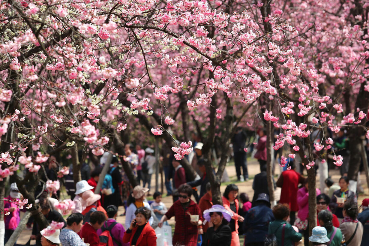SPRING-CHERRYBLOSSOMS/CHINA