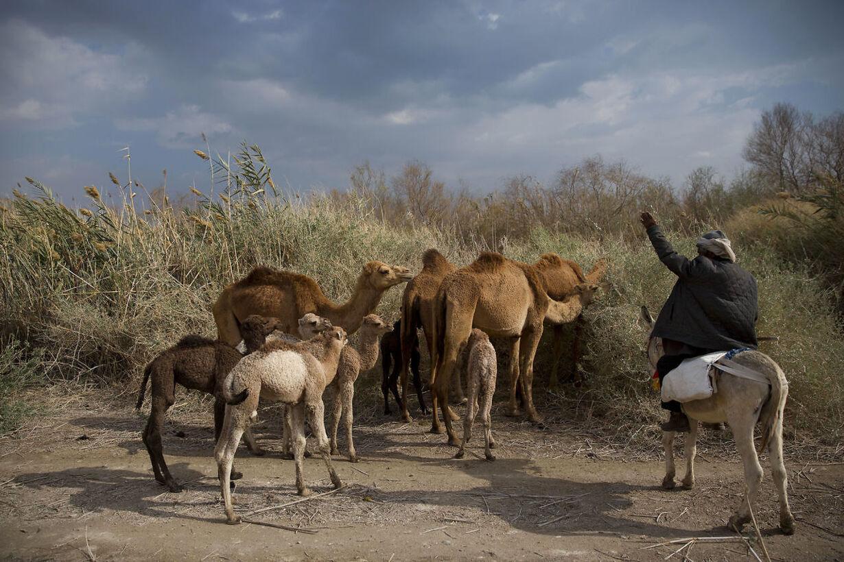 kamel hyrder