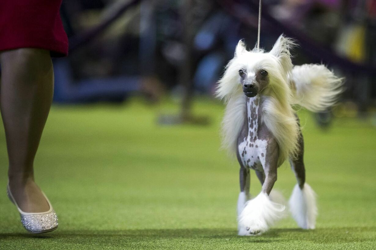 US-ANNUAL-WESTMINSTER-DOG-SHOW-TAKES-PLACE-IN-NEW-YORK-CITY