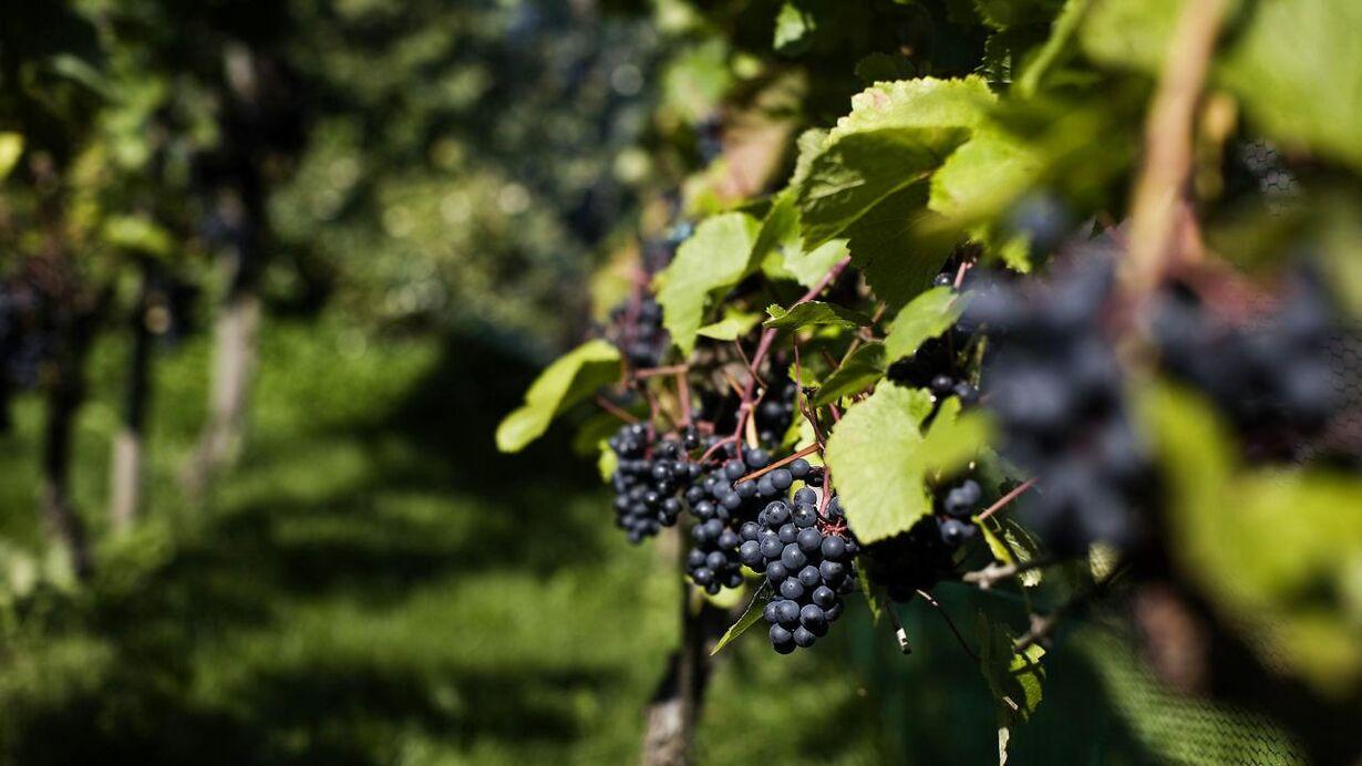 Mandag: Økologisk vin