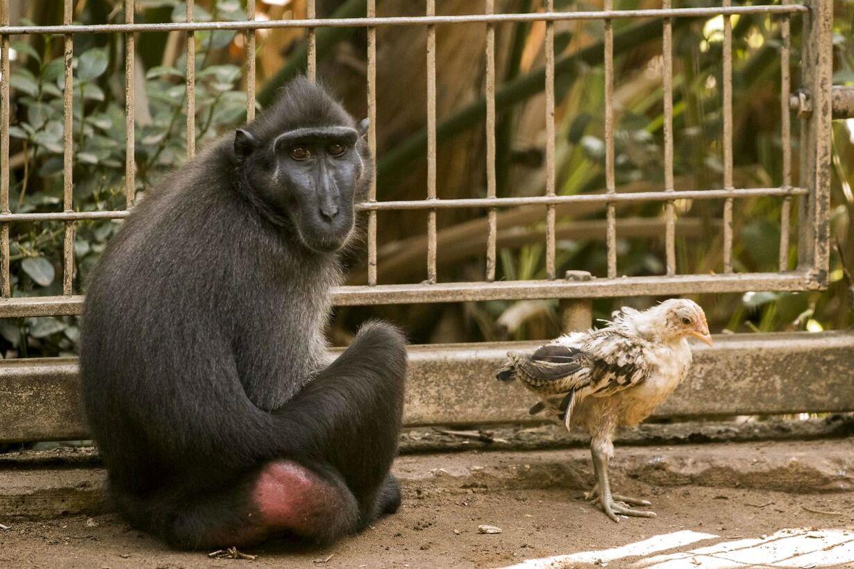 Abe adopterer kylling ISRAEL-ANIMAL-OFFBEAT