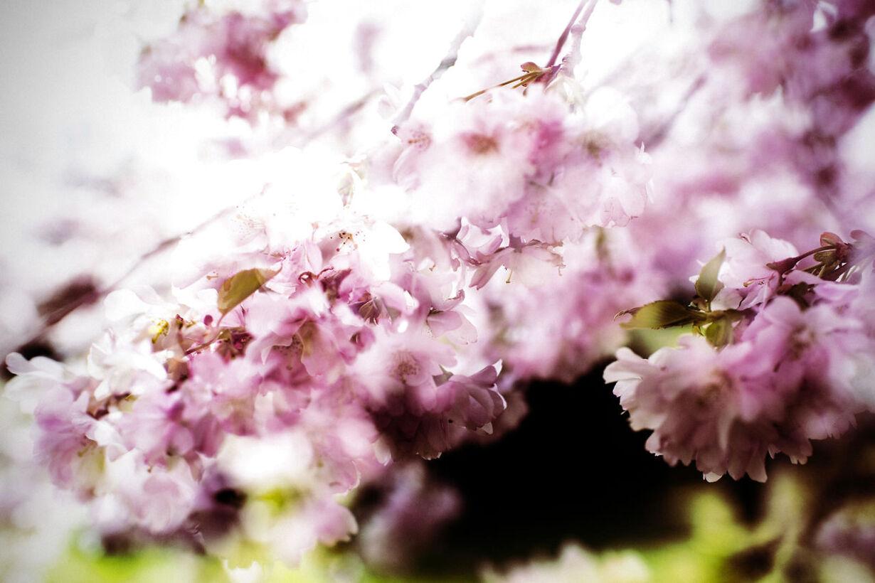 Blomstrende kirsebærtræer på Bispebjerg Kirkegård