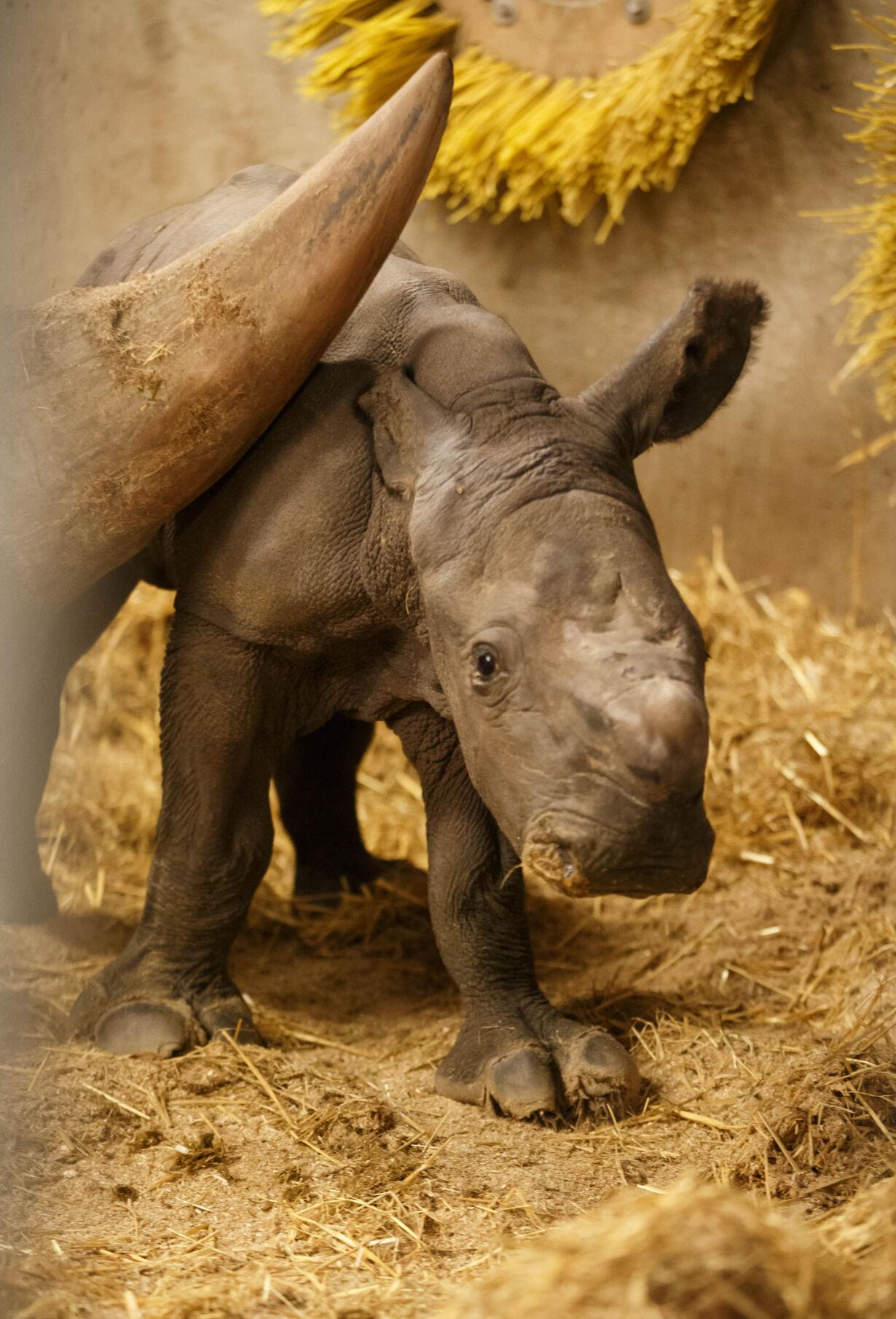 Nyfødt næsehornsunge 35