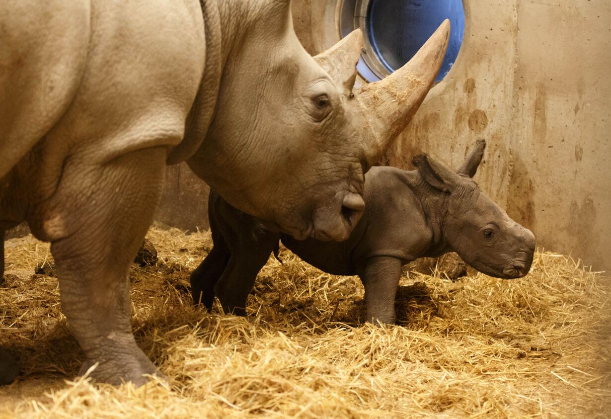Nyfødt næsehornsunge 16