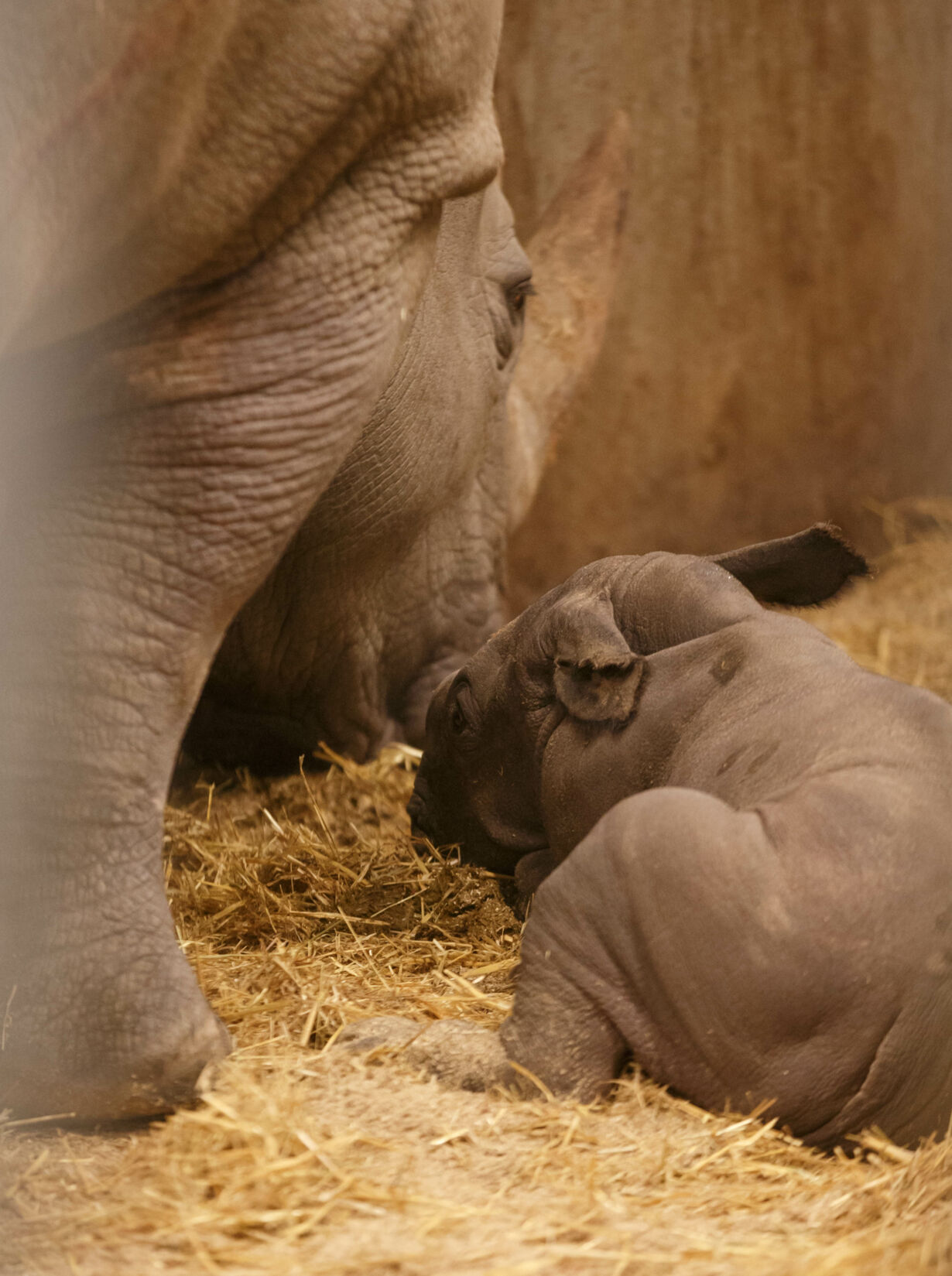 Nyfødt næsehornsunge 3