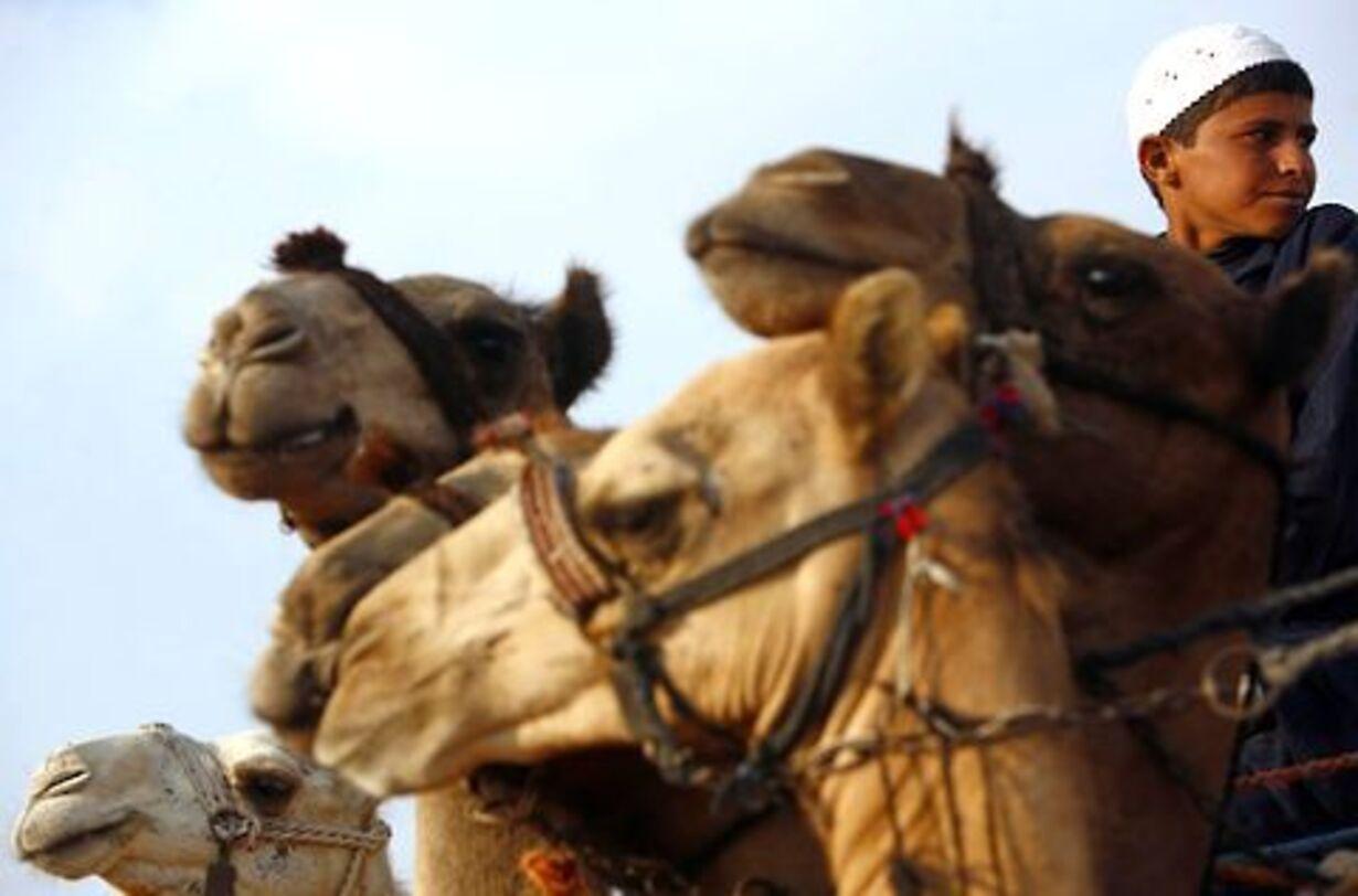 Racerløb på kamelryg - 1