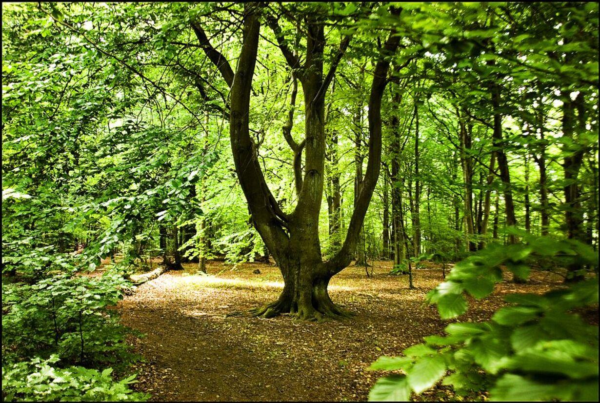 Skovene omkring Gurre Sø - 4