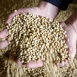 Senest har kineserne føjet amerikanske sojabønner til listen over varer, som vil blive belagt med ekstra toldafgift, og så begynder det at gøre ondt. For de amerikanske bønder kunne sidste år eksportere sojabønner for 12,3 milliarder dollar til Kina. Foto: Andres Stap/Reuters