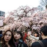 Åh, hvor er det blomstrende kirsebærtræ dog smukt. Jeg vil vende mig bort fra det og tage et billede af mig selv!