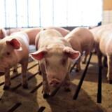 Kina har indført en straftold på en række amerikanske fødevarer, som blandt andet vil ramme amerikanske svinebønder.
