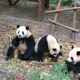 En af disse tre pandaer skal fremover bo i Zoologisk Have i København. Pandaparret kommer til byen i slutningen af 2018. Foto: Free/Rikke Lund Kristensen