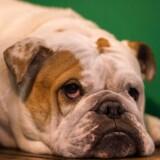 I Brooklyn oplever flere dyrlæger, at stadig flere kæledyrsejere undlader at få deres dyr vaccineret mod blandt andet hundegalskab af frygt for, at dyrene får autisme. / AFP PHOTO / Oli SCARFF