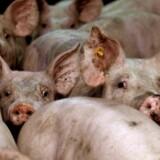 Produktionen af svin har de seneste år været så god en forretning, at landbruget for første gang længe mangler arbejdskraft. Samtidig forsøger storleverandører af danske landbrugsmedhjælper såsom Polen nu at få polakkerne til at blive i hjemlandet, hvor der også mangler arbejdskraft. Reuters/Olivier Hoslet/arkiv