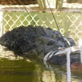 Saltvandskrokodiller kan blive op til syv meter lange og veje over et ton. De er almindelige i tropeområder i det nordlige Australien. (Foto: HANDOUT/Ritzau Scanpix)