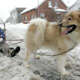 En 2-årig grønlandsk slædehund med navnet Suli Woq, hvilket betyder arbejder på grønlandsk, får for første gang lov til at trække en slæde med sin ejer Frida gennem Stilling ved Århus torsdag middag d. 22. februar 2007.