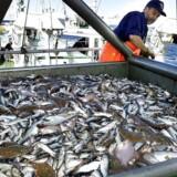 Arkivfoto. Det er i overensstemmelse med alle regler, at svenskere har opkøbt danske fiskekvoter, lyder det fra talsmand.
