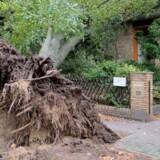 Et træ er væltet ned over en villa i Berlin under en storm, der har raset over det nordlige og østlige Tyskland. Scanpix/Jens Dudziak