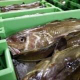Fire svenske fiskerivirksomheder har på få år opkøbt store andele af de danske fiskekvoter inden for det store industrifiskeri.. (Foto: Morten Stricker/Scanpix 2016)