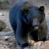 Bjørnens angreb menes at være et sjældent set rovdyrsangreb og ikke en forsvarshandling, som når en hunbjørn vil beskytte sine unger. Det oplyser talsmand for vildtforvaltningen i Alaska Ken Marsh.