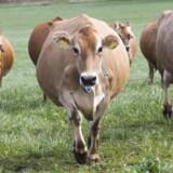 Køer på vej ud på græs. Efterspørgslen på økologiske produkter på vores eksportmarkeder stiger med ca. ti procent om året, og mælkeprodukter står for ca. halvdelen af økoeksporten. Arkivfoto: Kim Haugaard