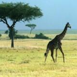 Masai-giraf. Den ene af fire girafarter, som forskere har identificeret. Scanpix/Ernst Van Norde