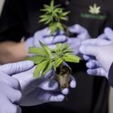 Medican er én blandt 12 danske virksomheder, der har fået tilladelse til at dyrke medicinsk cannabis.