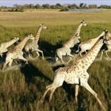 Med droner er det muligt at beskytte de vilde dyr mod krybskytter. Foto: Over and Above Africa