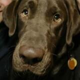 En brun labrador retriever.