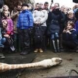 Obduktionen af giraffen Marius er noget af det, russiske Twitterprofiler har beskæftiget sig meget med.