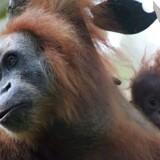 På bare 25 år er antallet af orangutanger i Sydøstasien omtrent halveret. På globalt plan er populationerne af mere end 4.000 vilde dyrearter på bare 40 år reduceret med 60 pct. i gennemsnit, fremgår det af ny WWF-rapport.