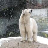 Isbjørnen Lynn fødte i weekenden to unger.