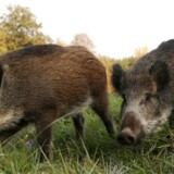 Ulykker, hvor vildsvin er involveret, sætter i år rekord i Sverige.