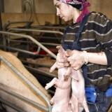 Efter Putins importstop vælter pengene ind hos de danske svineavlere i Rusland.