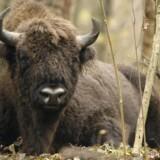 Den europæiske bison er ikke et præriedyr, men opholder sig helst inde i skovene.