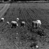 Fra økologiens barndom i Danmark i begyndelsen af 1980erne. Der håndluges mellem grøntsagerne på marken. (Foto: Bjarke Ørsted)