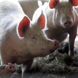 Resultatet for svinene bliver ultimativt det samme i 2016 som i 2015. Men svinebønderne kan glæde sig over, at det værste nok er overstået.