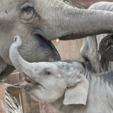 Elefanterne i Københavns Zoo 13. april 2018 med elefantungen Plaisak.