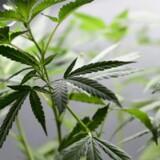 Danish Cannabis satser på at være klar med medicinsk cannabis efter nytår. Planterne skal dyrkes på et hemmeligt sted.