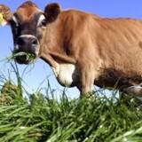 Skal vi hælde græs eller ko i maven? Danske forskere arbejder nu ihærdigt på, at vi skal begynde at spise græs frem for først at stoppe græsset ind i koen, hvilket er langt mere klimabelastende. Arkivfoto: William West/AFP/Ritzau Scanpix