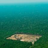 Da de oprindelige amerikanere døde i millionantal for 500 år siden, indtog CO2-opsugende skove så store som næsten hele Frankrig deres gamle byer og marker. I dag sker det stik modsatte. Amazonas fældes.