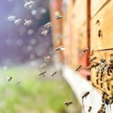 Hvert år hentes bier ind til æbleplantagerne for at sikre bestøvning af blomsterne. (Foto: Scanpix)