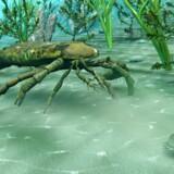 Da klimaet blev nogenlunde som i nutiden i den geologiske epoke Ordovicium, eksploderede livet i havet. Her er en havskorpion i gang med at jage en trilobit.