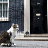 »Larry«, den firbenede musejæger i Downing Street 10.