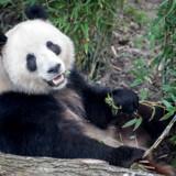 Zoologisk Have i København slog torsdag dørene op for offentlighedens adgang til de to nye pandaer. Kina benytter en lang række initiativer - herunder det såkaldte pandadiplomati - til at øge landets indflydelse internationalt.