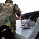 I alt 81 delfiner gør tjeneste i den amerikanske flåde. Her er det delfinen Spetz, der kommer tilbage fra opgave og retur til bassinet . Korporal Stephanie Johnson serverer sild. Arkivfoto: Henning Bagger