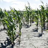 Sidste sommer var rekordtør og usædvanlig hed. Det kostede dansk landbrug milliarder af kroner. Her knastør majsmark i Vendsyssel.